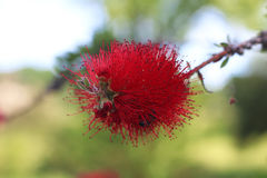 The red bottle brush flowers Royalty Free Stock Images