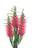Red bottle brush flowers on white background Royalty Free Stock Images