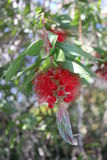 Red Bottle Brush Royalty Free Stock Images
