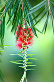 Red bottle-brush tree (Callistemon) flower Stock Photos