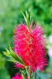 Callistemon. Red bottle-brush tree (Callistemon) flower after rain stock images
