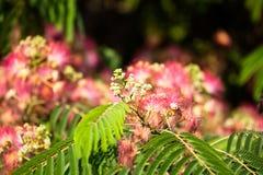 Red Bottle Brush Tree Flower Royalty Free Stock Images
