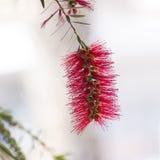 Red bottle-brush tree flower Stock Photography