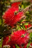 Red Bottlebrush Stock Photos