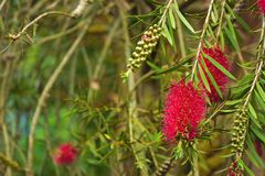 A red bottlebrush bush (Callistemon) Stock Image