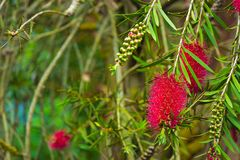 A red bottlebrush bush Stock Images