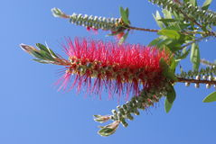 Red bottlebrush flower Stock Photos