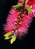 Red bottlebrush flower Royalty Free Stock Photography