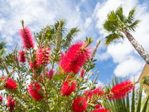 Red bottlebrush plant and a palm tree Stock Image