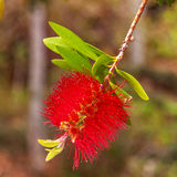 Red bottlebrush Royalty Free Stock Photography