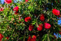 Red bottlebrush tree flowers Royalty Free Stock Image