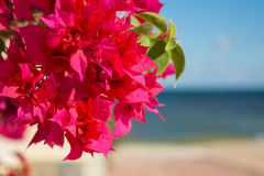 Red bougainvillaea flowers in front of sea background Royalty Free Stock Photo