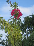Red Bougainville stock photography