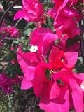 Red Bougainville Royalty Free Stock Photo