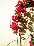Red Bougainvillea. Shadow on the wall royalty free stock photos