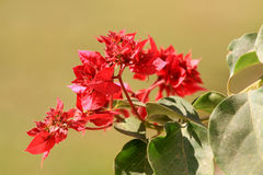 Red bougainvillea Stock Photos
