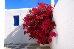 Red Bougainvillea. In Mikonos, Greece Royalty Free Stock Images
