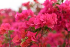 Red bougainvillea blossom Royalty Free Stock Image
