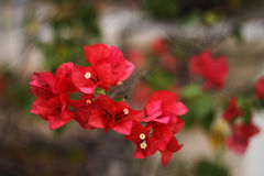Red bougainvillea. On blurry background Stock Image