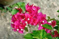 Red Bougainvillea flower Stock Photos