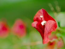 Red bougainvillea flower. On green background. nature bougainvillea single blossom green background fresh red flower one bougainvillea Royalty Free Stock Image