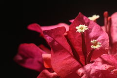 Red bougainvillea flower with white floret. Closeup on white floret of red bougainvillea flower Royalty Free Stock Photography