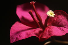 Red bougainvillea flower with white floret - Series 3 Royalty Free Stock Photography