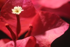Red bougainvillea flower with white floret - Series 4 Royalty Free Stock Photos