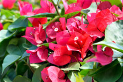 Red Bougainvillea flowers. Red Bougainvillea flower and green leaves Royalty Free Stock Images