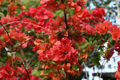 Red Bougainvillea flowers in the garden Royalty Free Stock Image