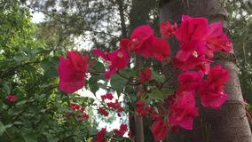 Red bougainvillea flowers. At the garden in Vietnam stock video footage
