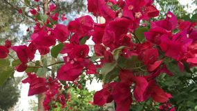 Red bougainvillea flowers. At the garden in Vietnam. Close up stock footage
