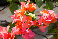 Red bougainvillea flowers, Nusa Penida -Bali, Indonesia Royalty Free Stock Photo