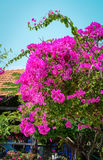 Red Bougainvillea flowers under blue sky Stock Photography