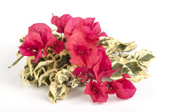 Red Bougainvillea Flowers with Variegated Green and White Leaves Stock Images
