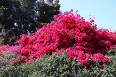 Red Bougainvillea in Full Bloom. Red bougainvillea blooming in springtime Royalty Free Stock Image