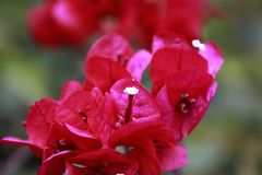 Red bougainvillea in full bloom with water drops and green leaf stock photo