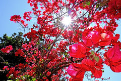 Red Bougainvillea. A Bougainvillea glabra shows its colorful and bright flowers that enjoy the spring sun royalty free stock image