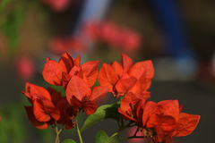 Red Bougainvillea stock image