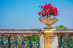 Red Bougainvillea plant in vintage flowerpot Stock Photography