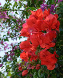 Red bougainvillea. Among purple Stock Photography
