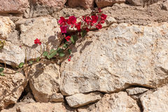 Red bougainvillea, Sharm el Sheikh, Egypt Stock Photography