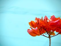 Red Bougainvillea tree flower and aqua of swimming pool. Background royalty free stock images