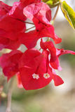 Red Bougainvillea Royalty Free Stock Images