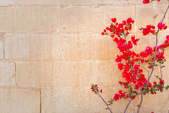 Red bougainvillea on the wall of the fortress in Mdina, Malta.  Stock Photos