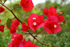 Red bougainvillea Stock Images