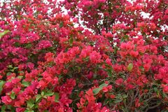 Red bougainvilleas Royalty Free Stock Photos