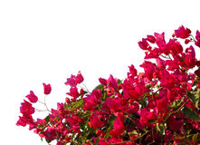 Red  bougainvilleas Stock Photography