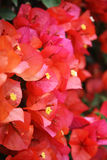 Red Bouganvillea blossoms. Close up Royalty Free Stock Images