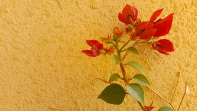 Red bourgainveilla plant in spring Royalty Free Stock Photos